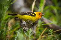 Bierstadt Moraine,Western Tanager,Bird,Avian,Wildlife,Photography,Birding,Bear Lake Road,Estes Park,RMNP,Rocky Mountain National Park, July