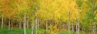 Aspens, Fall, Colorado, Maroon Creek, Maroon Bells