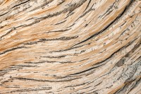 limber pine,krummholz,trail ridge,Rocky Mountain National Park, Colorado,texture,patterns,details,elements,wind