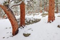 Rocky Mountain National Park Colorado Moraine Park Ponderosa Pine Trees Snow Spring