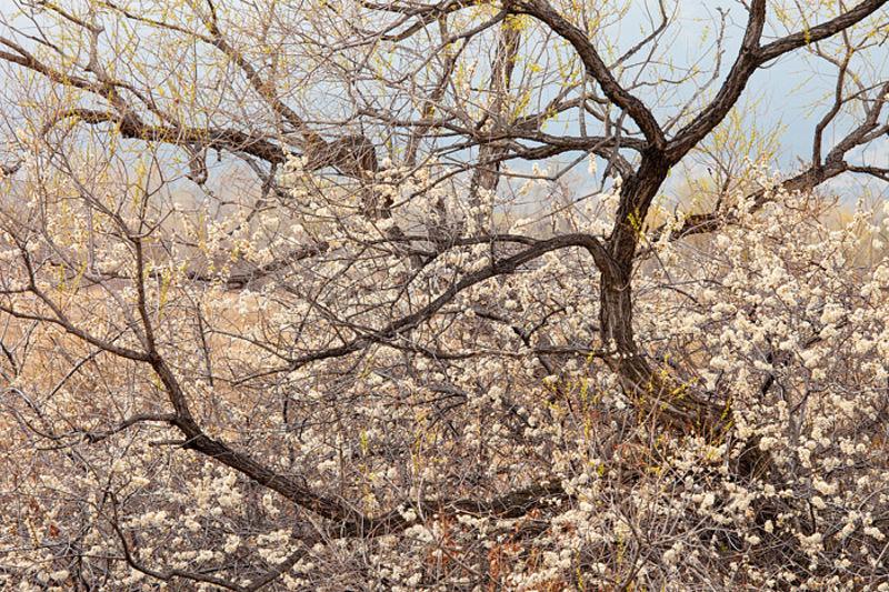 Spring Cottonwoods Along Bobolink