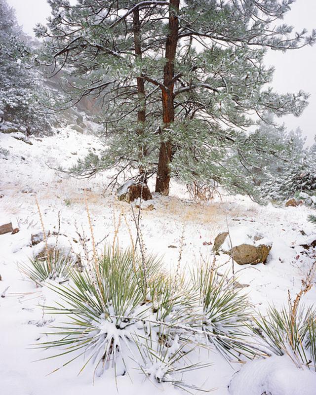 Snow on Yuccas - Flagstaff Mountain