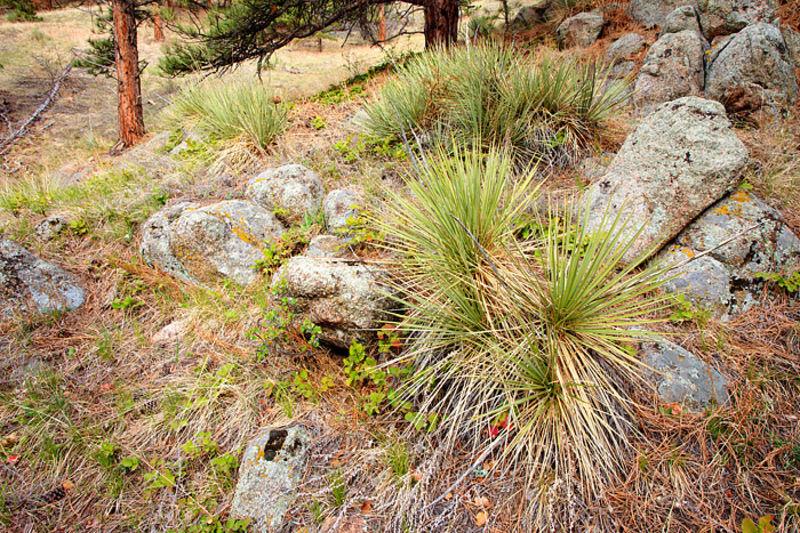 Flagstaff Yucca Garden