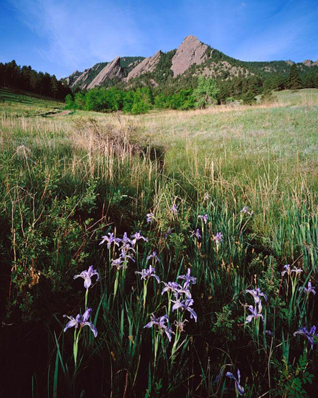 Wild Iris and the Flatirons