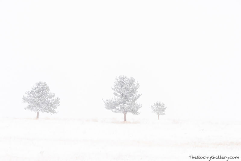 Greenbelt Plateau, OSMP,Open Space and Mountain Parks,Boulder,Colorado,Landscape,Photography,Trees,Blizzard,Snow,Dramatic,Three,November,Highway 93,trailhead,Ponderosa Pines