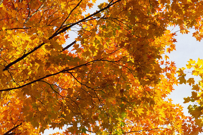 Maple Canopy, Harriman State Park