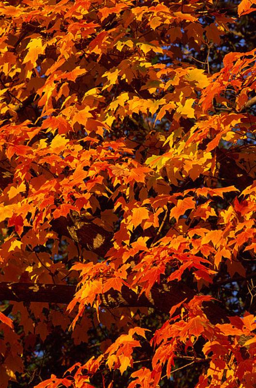 Fall Sugar Maples, Harriman State Park
