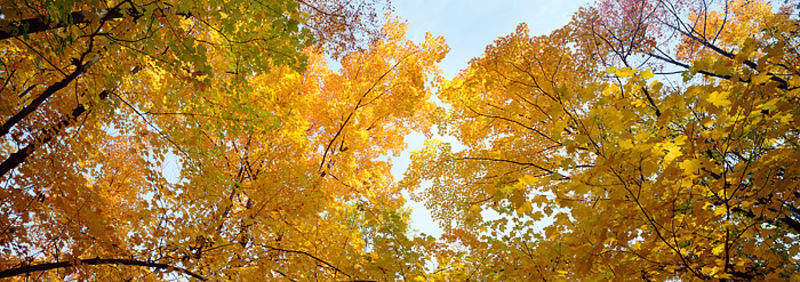 Sugar Maples in Harriman State Park