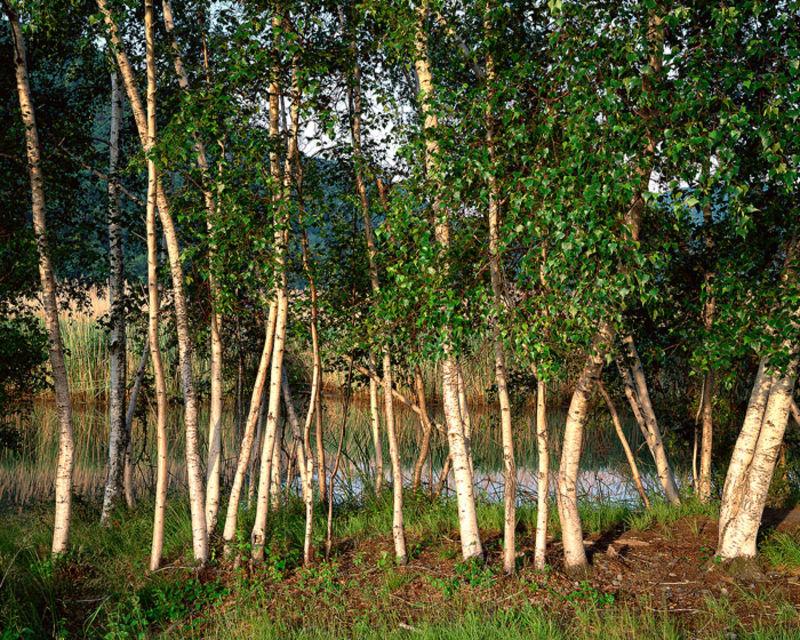 Hudson River Birches