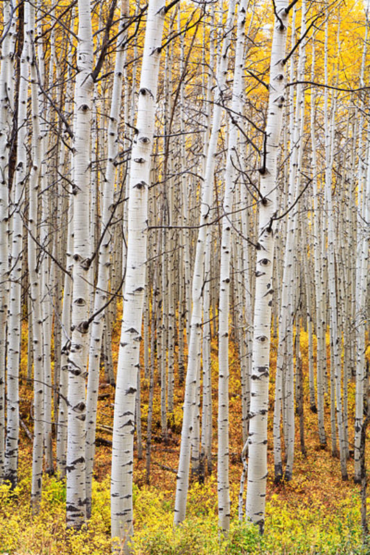 Aspen Eyes - Kebler Pass Fall
