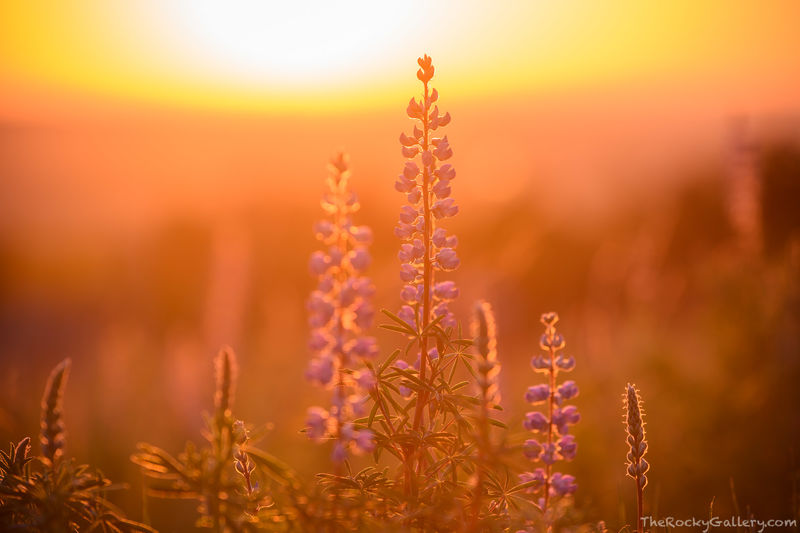 Silver Lupine,June,Sunrise,Chautauqua Park,Chautaqua Meadow,Wildfloers,OSMP,Open Space and Mountain Parks,Boulder,Colorado,Landscape,Photography,Flatirons
