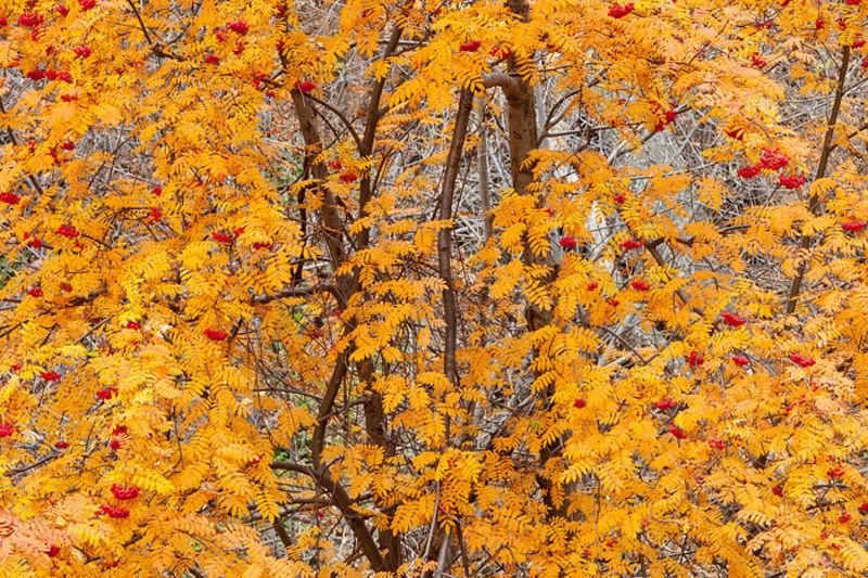 Mountain Ash Autumn View