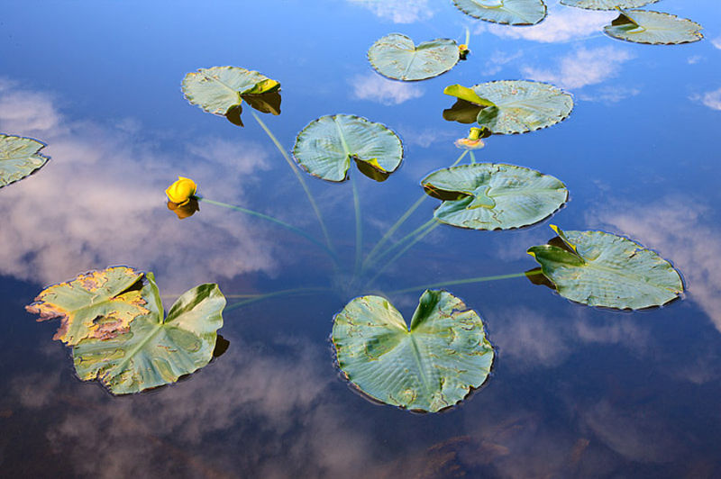 Pond Lillies And Clouds On Nymph Lake