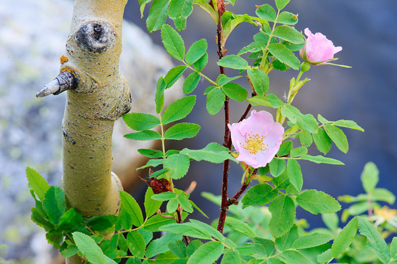 Wild Roses of Wild Basin