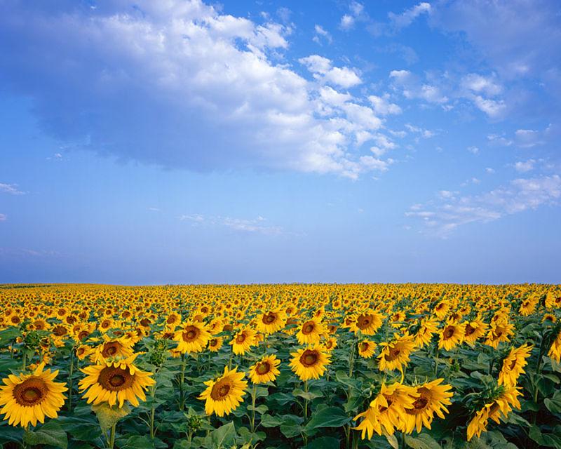 Sunflowers, Boulder, Front Range, Colorado, Open Space