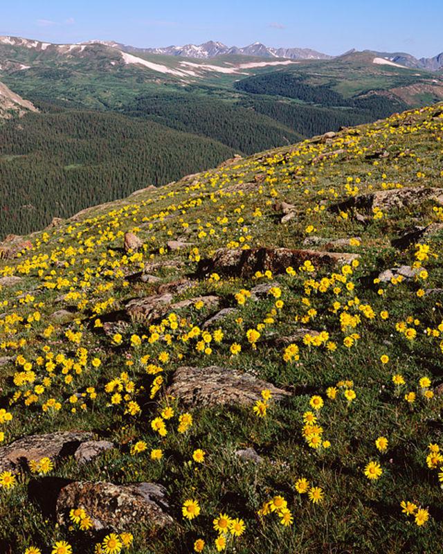 Alpine Sunflowers, Trail Ridge Road, Estes Park, Rocky Mountain National Park, Never Summer Mountain