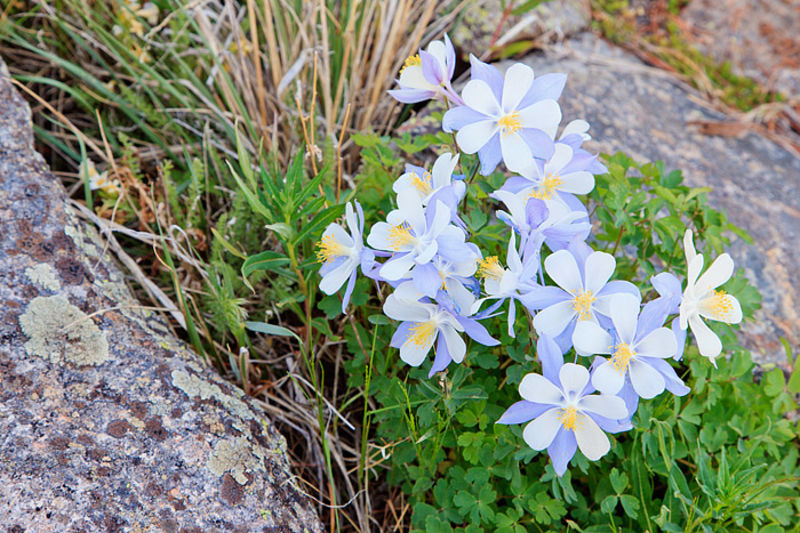 Blue Columbines On Trail Ridge