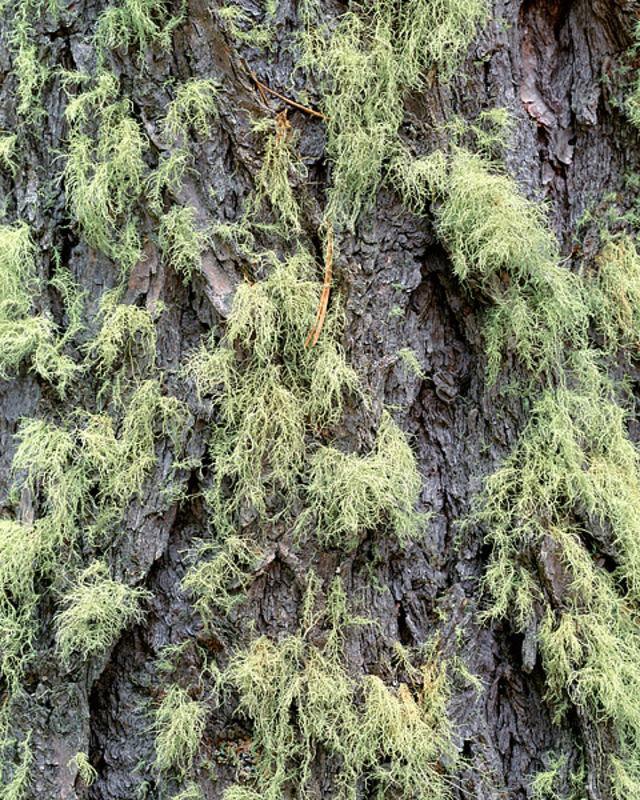 Moss on Spruce Tree - Wild Basin