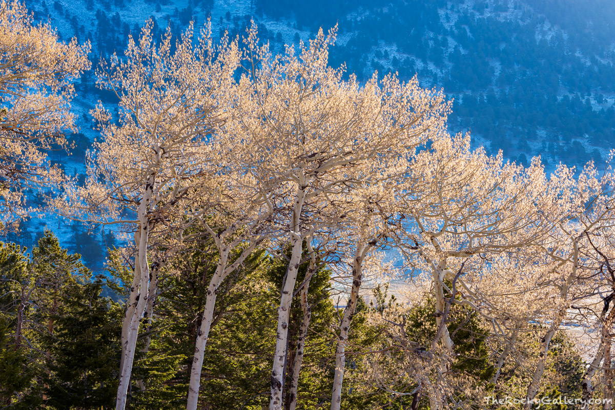 Catkins,Spring,Aspens,Beaver Mountain,Upper Beaver Meadows,April,RMNP,Colorado,Rocky Mountain National Park,Landscape,Photography,Estes Park, photo