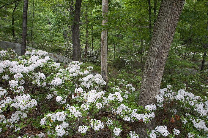 Bear Mountain State Park, Mountain Laurels, Pallisade Interstate, New York, Harriman, Hudson River, photo