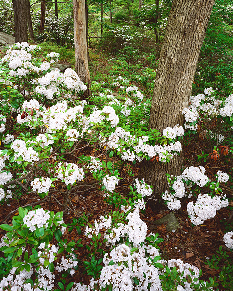 Bear Mountain State Park, Mountain Laurels, Hudson Valley, Orange County, Palisade Interstate Park, photo
