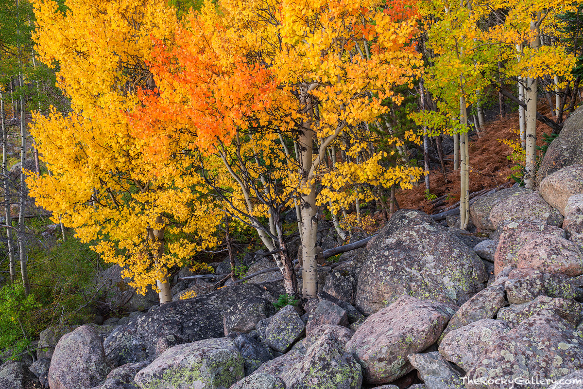 Bear Lake Road,Aspens,Fall,September,Landscape,Photography,Estes Park,RMNP,Rocky Mountain National Park,Colorado,Trees,Fall Color, photo