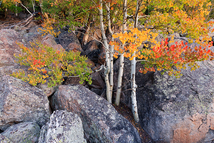 Four aspen boles placed amongst a hillside of large boulders help to produce an amazing aray of fall color. Golden yellow, orange...