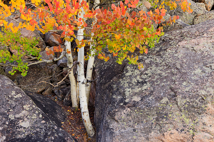 Bear Lake Road,Aspens,Autumn,Rocky Mountain National Park,Colorado,talus,gold,red,boulders, photo