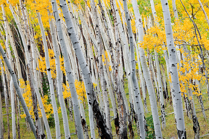Fall Aspen's photographed growing on the side of the Bierstadt Moraine in Rocky Mountain National Park have a slight lean in...