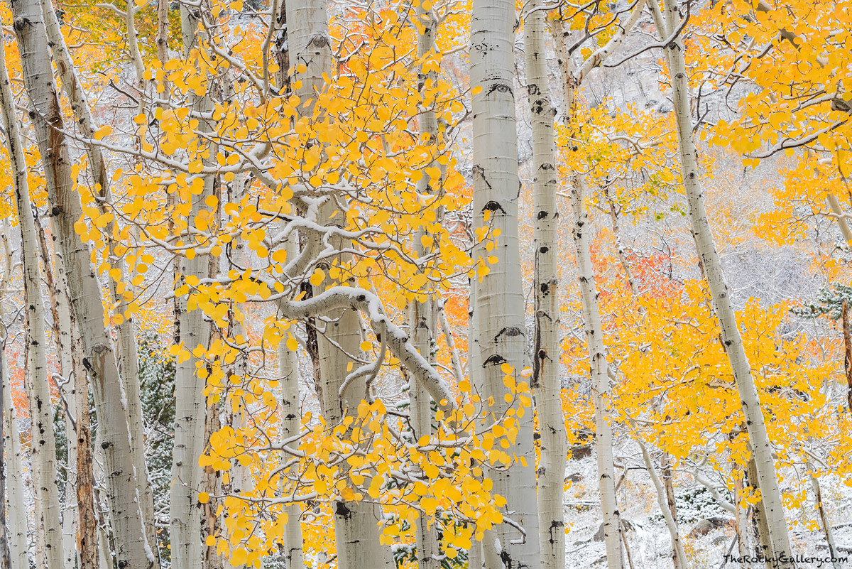 Aspens,Fall,Snow,Yellow,Autumn,Bierstadt Moraine,Bear Lake Road,Estes Park,Trailhead,RMNP,Rocky Mountain National Park,Colorado,Landscape,Photography,October , photo