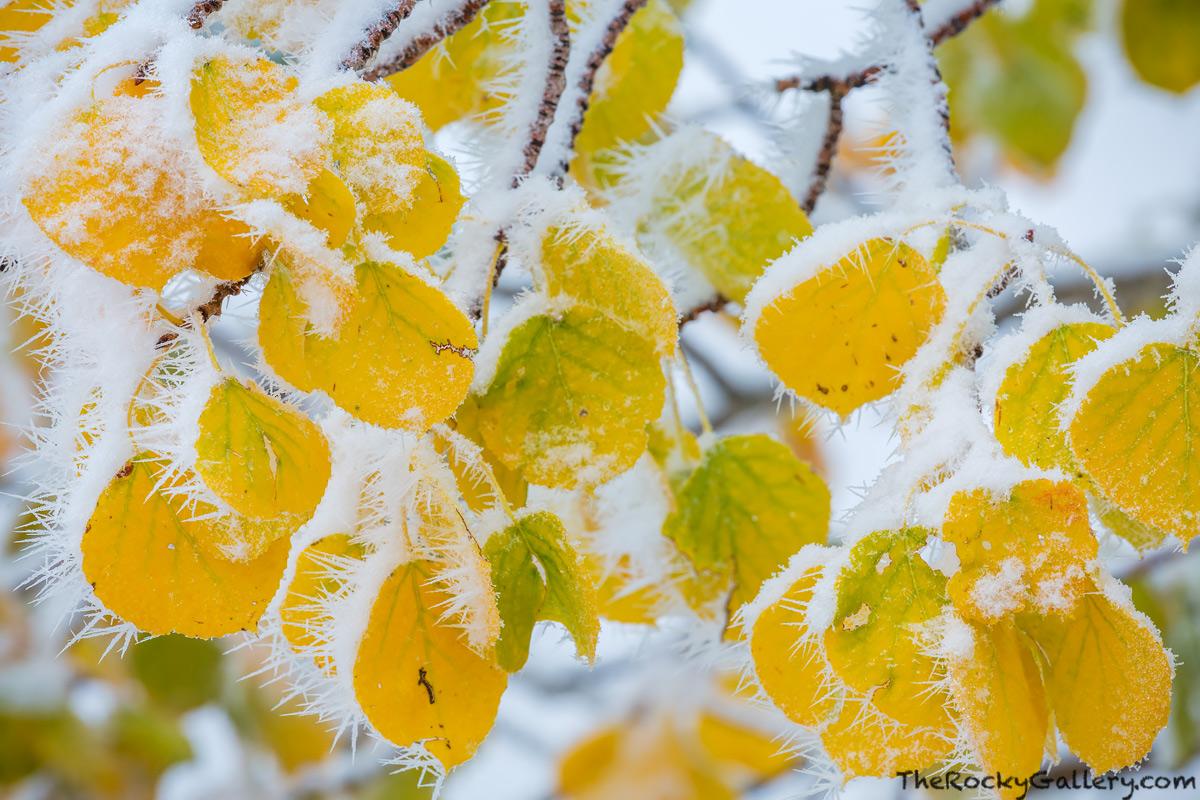 Autumnm,Bierstadt Moraine,Bear Lake Road,Aspens,Fall,Autumn,Snow,Winter,Rocky Mountain National Park,Colorado,RMNP,Frozen,September, photo