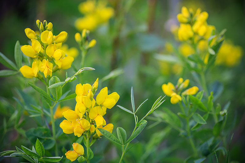 Golden Banner,Rocky Mountain National Park,Colorado,Estes Park,RMNP,Wildflowers,Golden Banner,Bierstadt Moraine,Bear Lake, photo