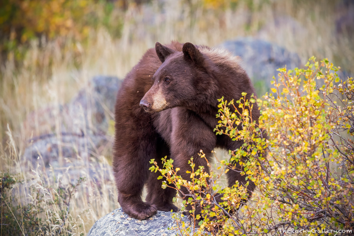 A cinnamon colored black bear is seen checking out its surrounding as it looks for berries and other food items on a fall morning...