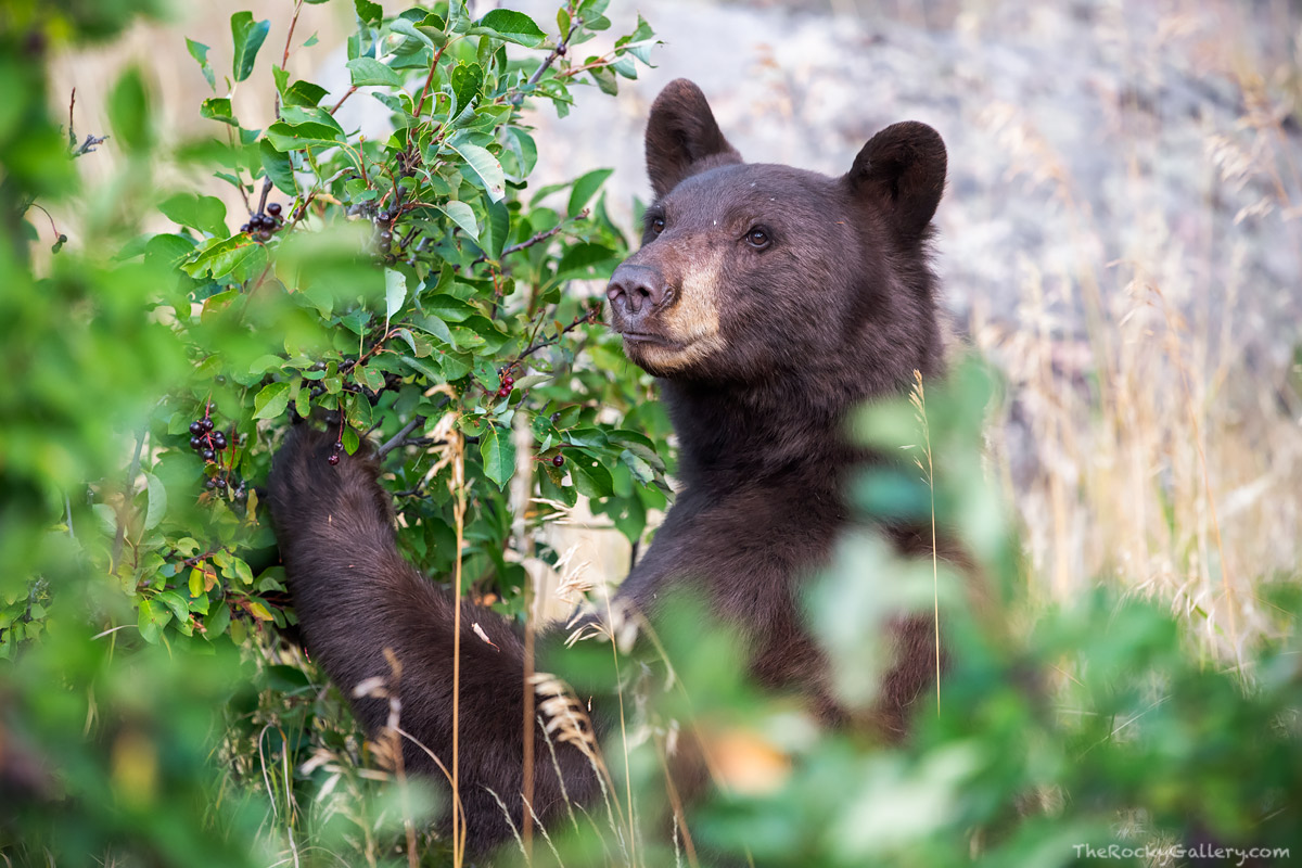 There is a little more than two dozen black bears roaming the landscape of Rocky Mountain National Park according to recent National...