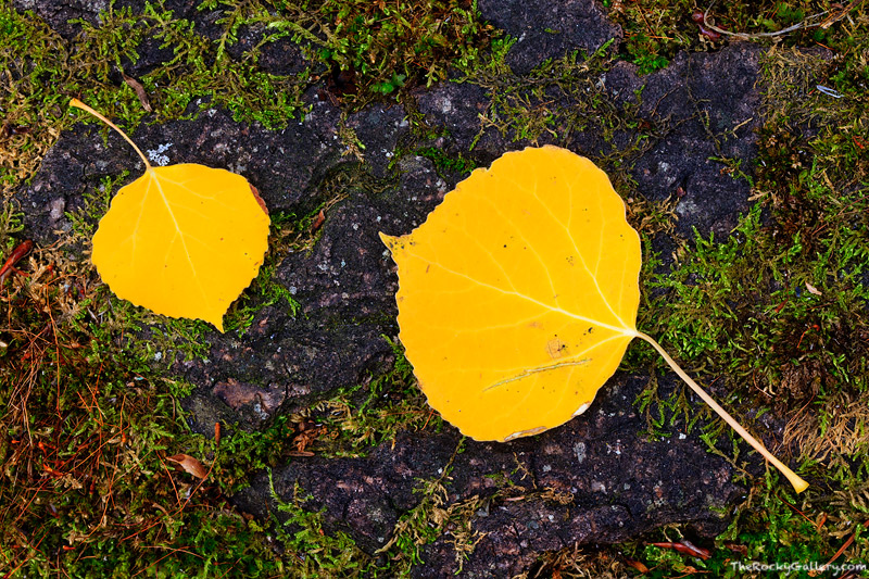 Colorado,Rocky Mountain National Park,Boulder Brook,Aspen,Golden,Yellow,Autumn,Fall,forest,Bear Lake Road,Estes Park,RMNP,Landscape,Photography , photo