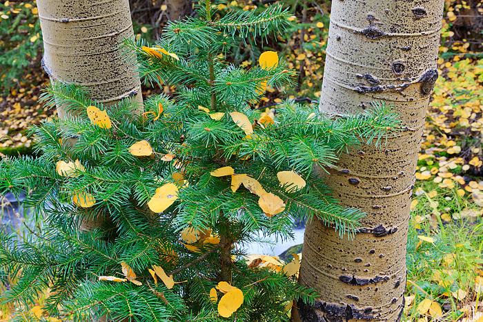 Rocky Mountain National Park,Colorado,Aspen,fall,autumn,boulder brook,forest,pine,golden, photo