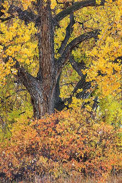Boulder,Colorado,Open space and mountain parks,osmp,cottonwoods,east county,autumn,fall, photo