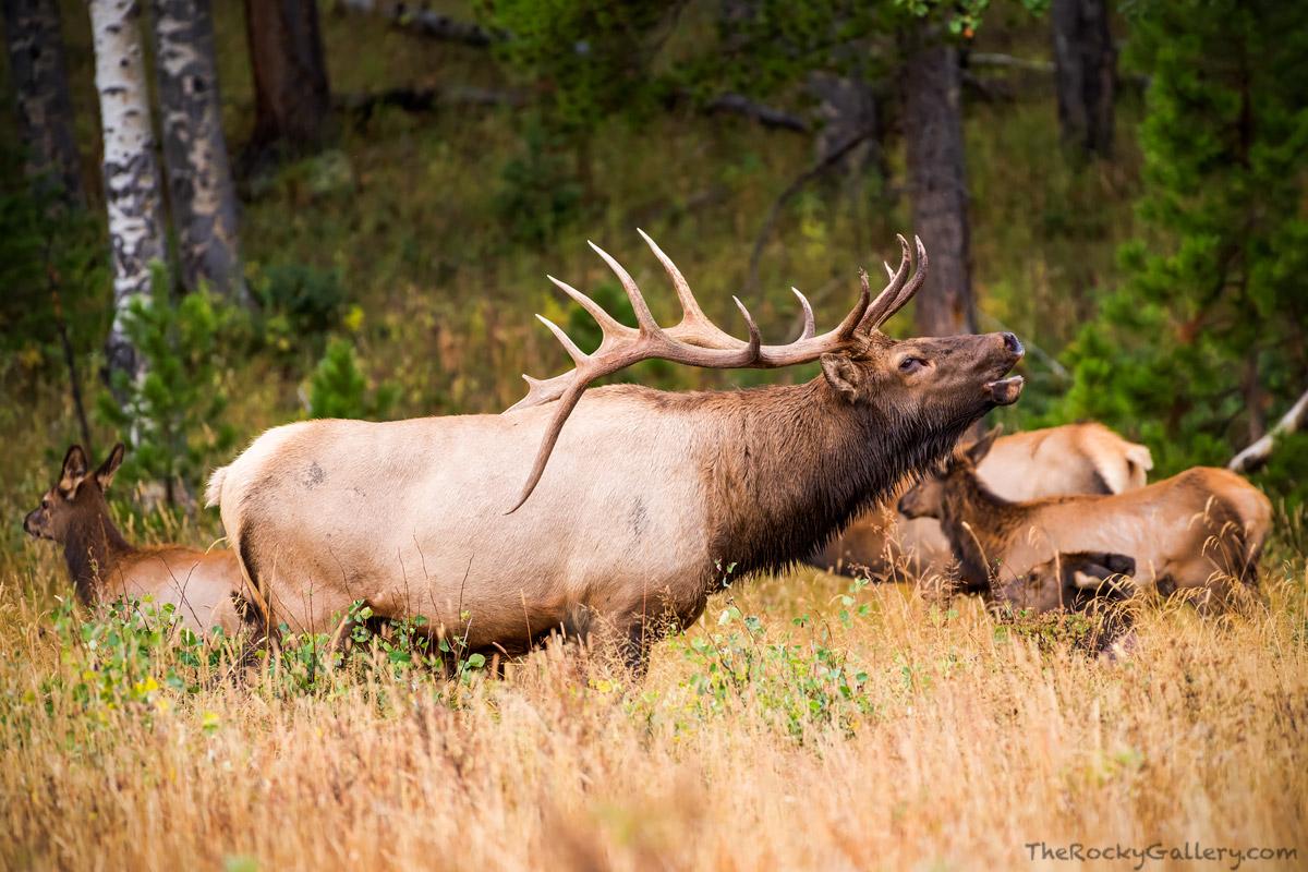 Bull,Elk,Rut,Horsehoe Park,Harem,Fall,Autumn,September,Fall River Road,Trail Ridge Road,RMNP,Colorado,Estes Park,Rocky Mountain National Park,Wildlife,Photography, photo