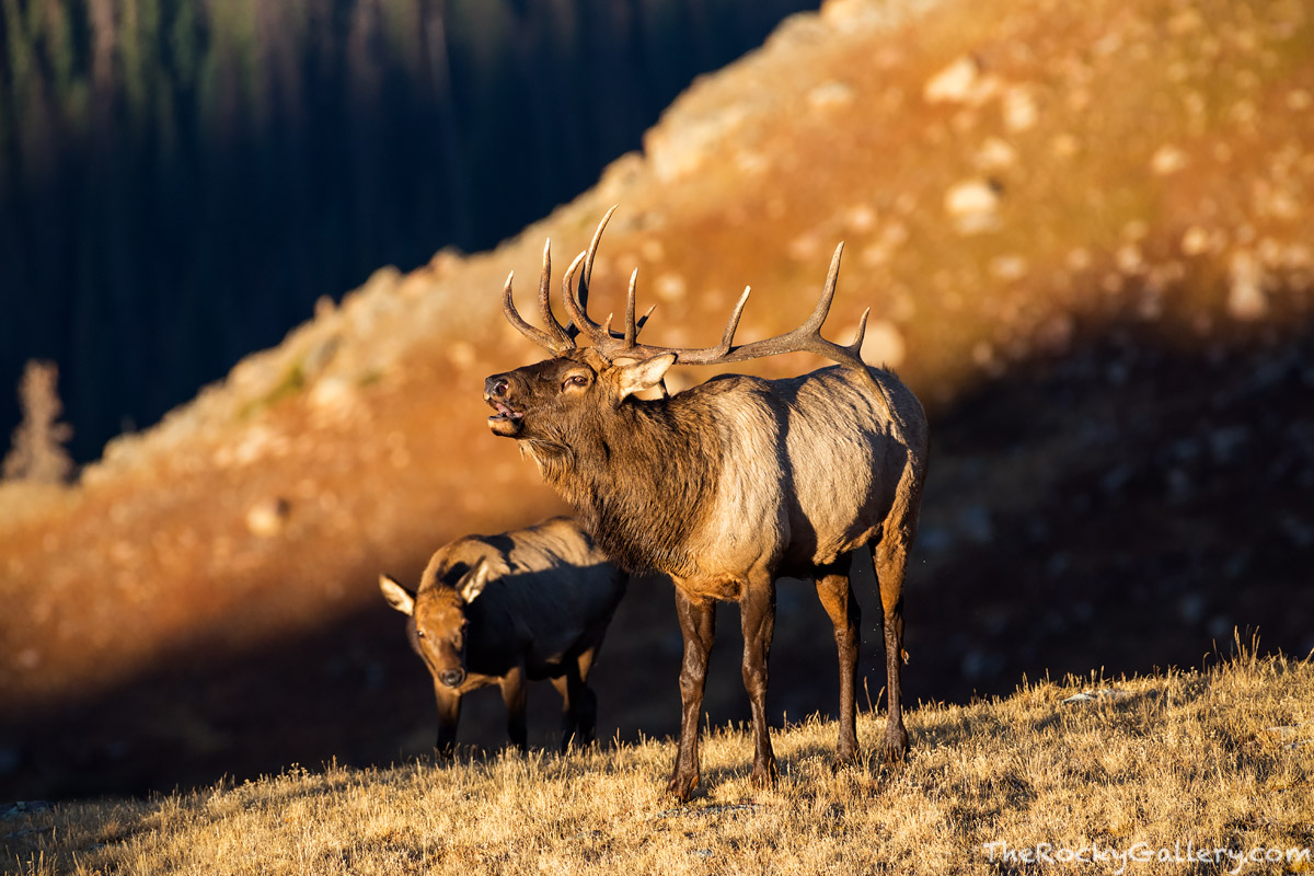 Elk,Bull,Rut,Bugle,Alpine,Tundra,RMNP,Trail Ridge Road,Wildlife,Estes Park,Colorado,Photography,Rocky Mountain National Park,Timberline,harem,Forest Canyon, photo