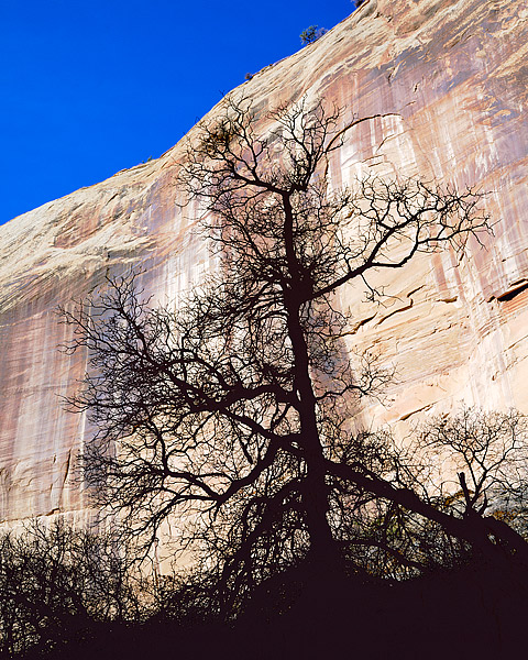 Hiking along the trail to Calf Creek Falls, the Sandstone walls were illuminated by the Sun. The many groves of Gambel Oaks were...