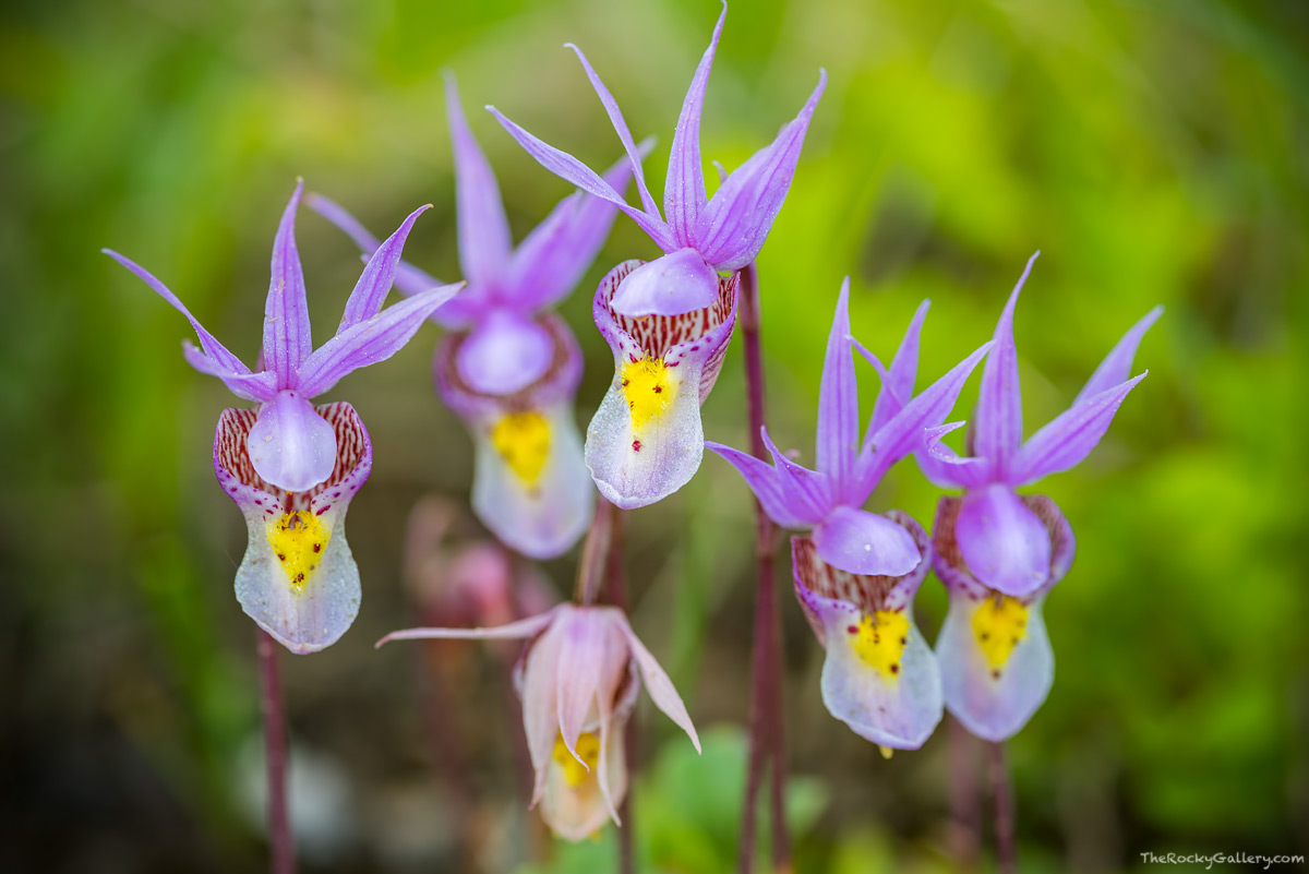 Wildflowers,East Inlet,Fairy Slippers,Calypso Orchids,Adams Falls,Grand Lake,West Side,RMNP,Rocky Mountain National Park,Colorado,June,Landscape,Photography,Macro, photo