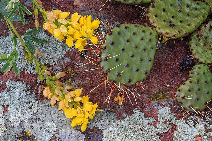 Boulder,Colorado,open space,osmp,wildflowers,prickly pear,cactus,snow,spring,Chautauqua,park,meadow,flatirons,golden banner, photo