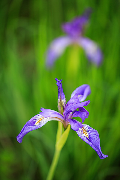 Every spring, wildflowers bloom in the meadow of Chautauqua Park in Boulder. The deep purples of the Wild Iris present visitors...