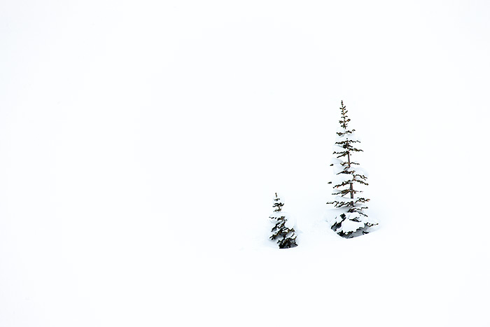 A pair of evergreens weathers a late spring snow storm on the hillsides above Emerald Lake. These two trees poking out of the...