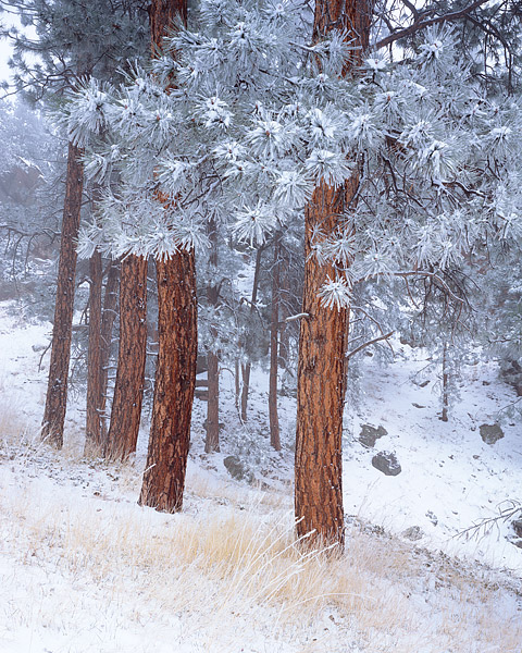 Boulder, Colorado, Flagstaff Mountain, Ponderosas, Snow, Open Space, OSMP, photo
