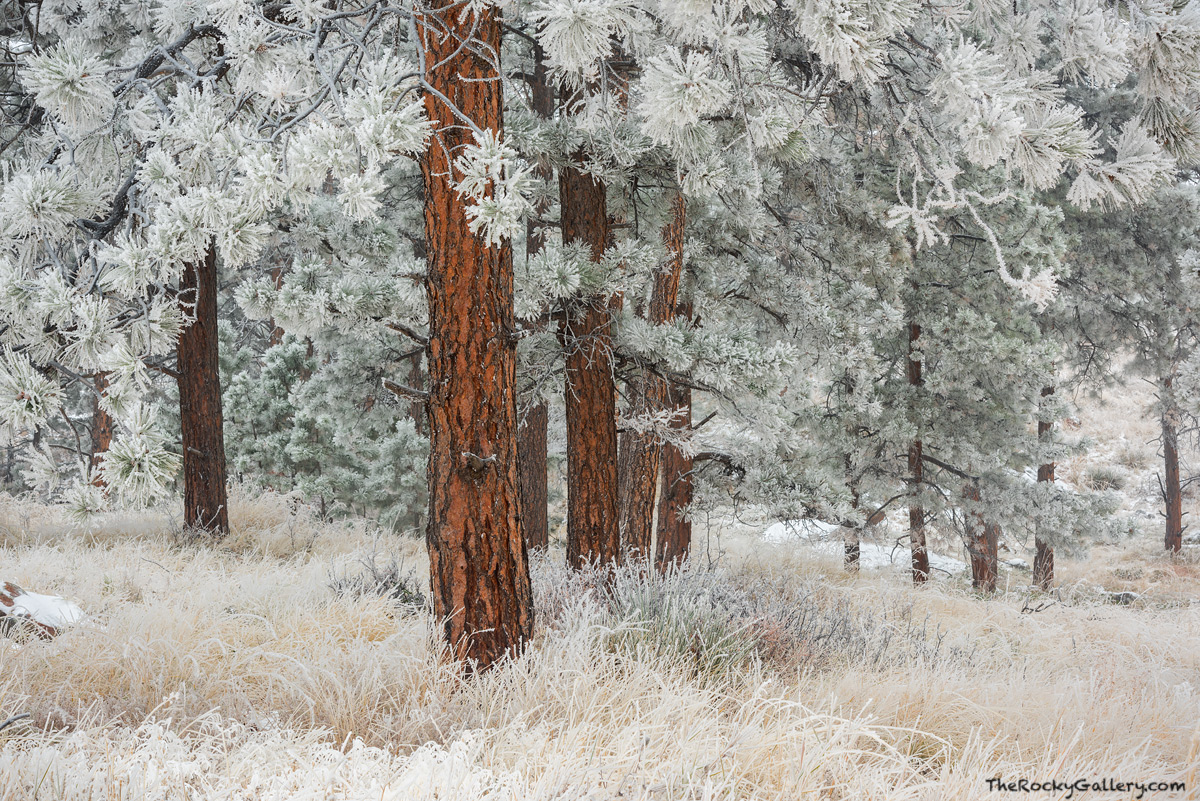 Flagstaff Mountain,Ponderosa Pines,OSMP,Open Space and Mountain Parks,Boulder,Colorado,Landscape,Photography,November,Snow,Inversion,Frost, photo