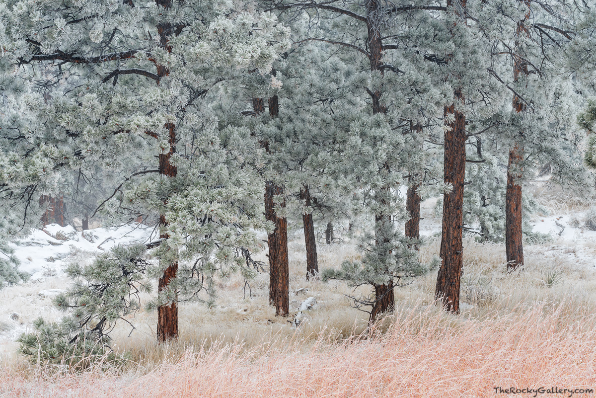 Flagstaff Mountain,Ponderosa Pines,Snow,November,OSMP,Open Space and Mountain Parks,Boulder,Colorado,Flagstaff Road,Frosted,Landscape,Photography,Front Range , photo