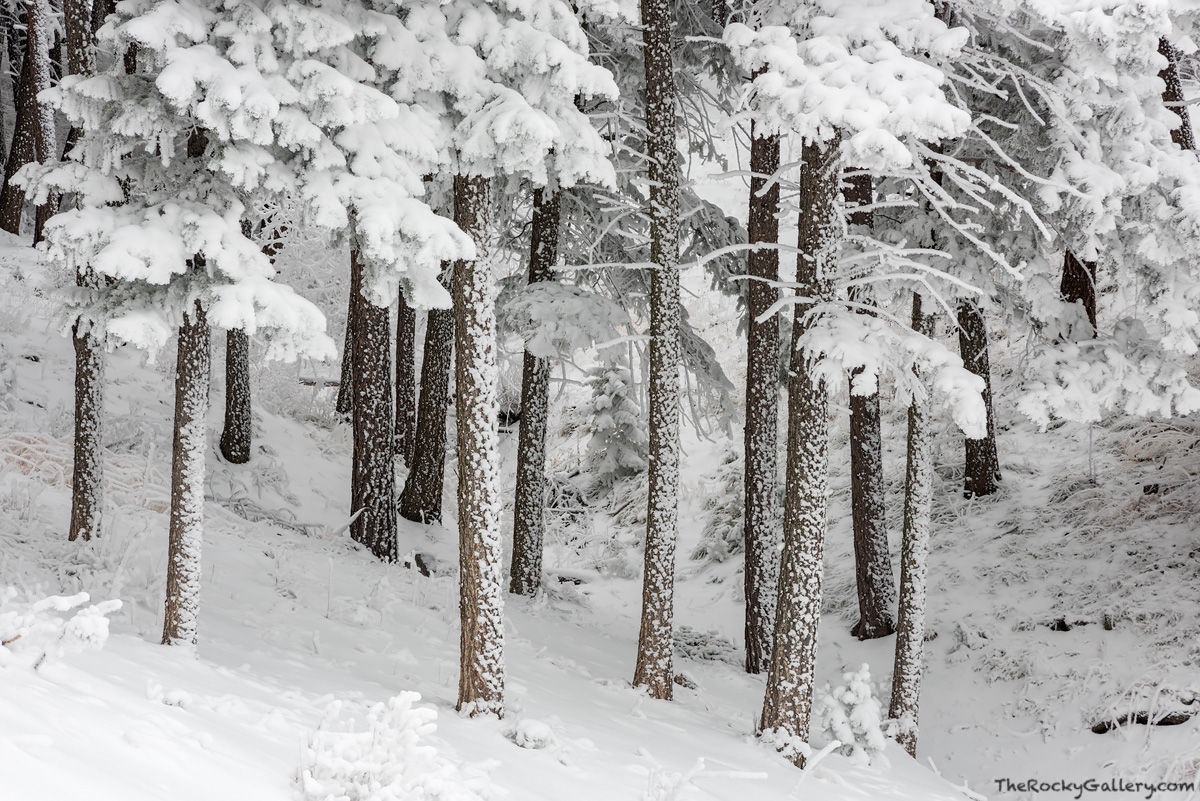 Flagstaff Mountain,OSMP,Open Space and Mountain Parks,Spruce,Fir,Winter,November,Boulder,Colorado,Landscape,Photography,Flagstaff Road,White,Snow,Pines,Trees, photo