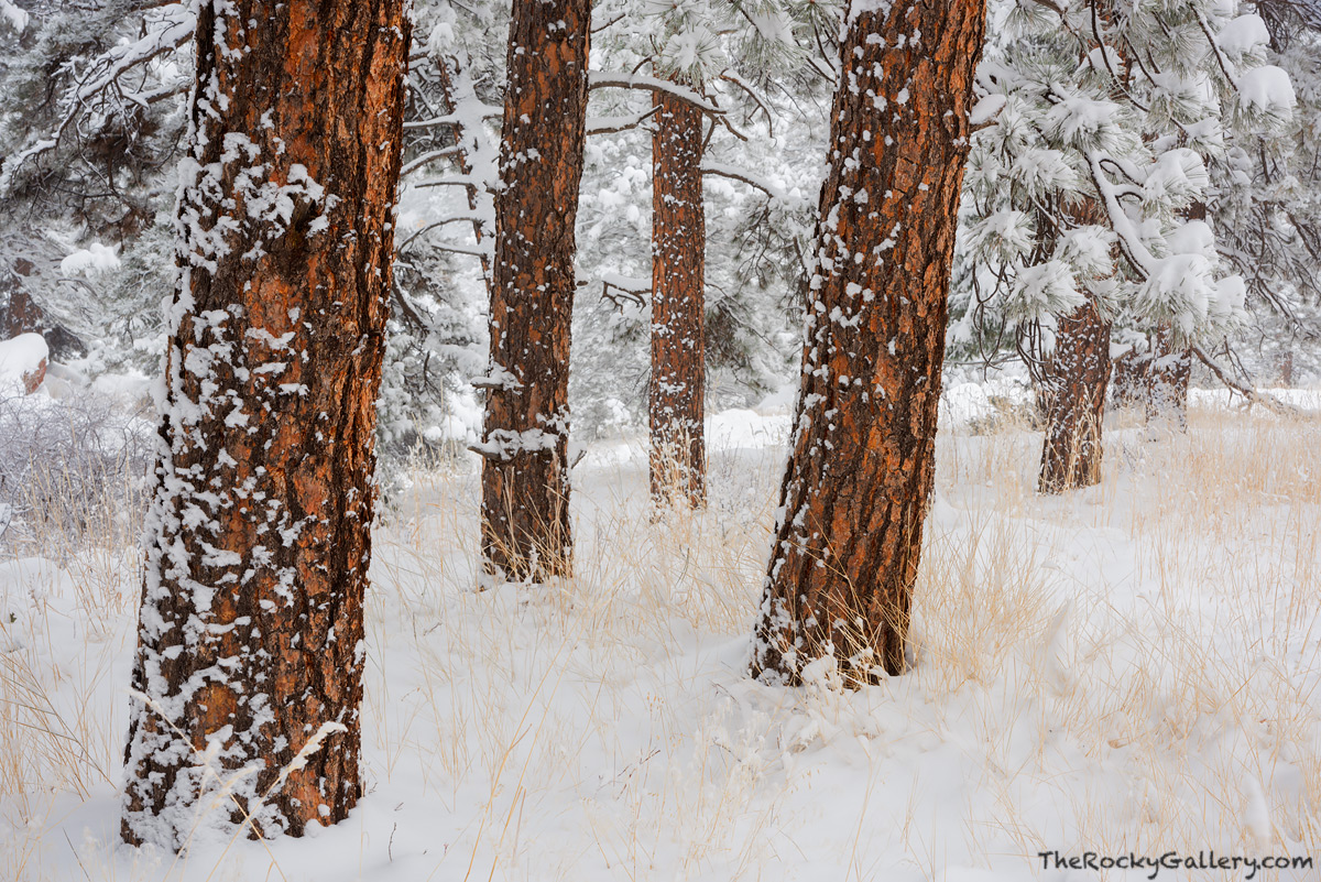 Ponderosa Pine,Flagstaff Mountain,Snow,December,OSMP,Open Space and Mountain Parks,Boulder,Colorado,Landscape,Photography,Flagstaff Road,Trailhead, photo