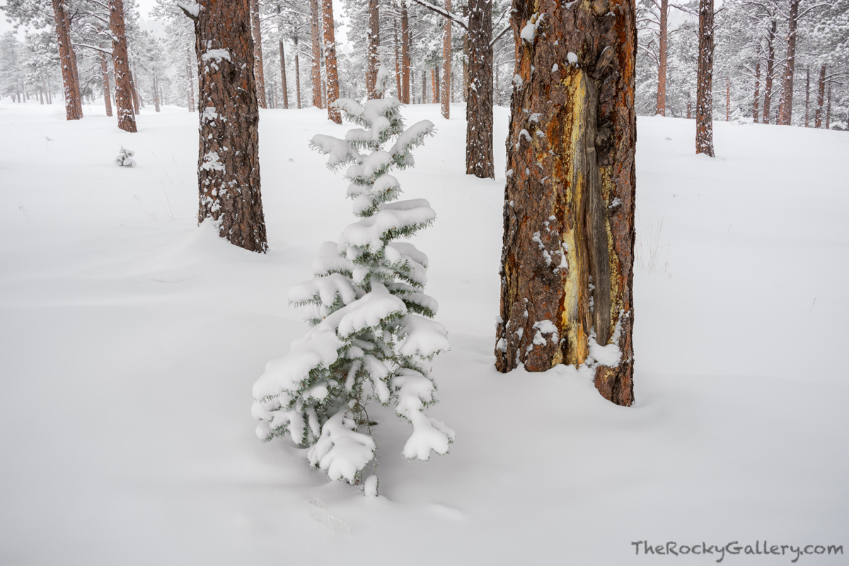 Flagstaff Mountain,Flagstaff Road,Ponderosa Pines,Trees,Snow,Landscape,Photography,Boulder,Colorado,OSMP,Open Space and Mountain Parks,December,Winter, photo